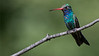 Broad-billed Hummingbird azs16b Doug Gochfeld (1 of 1)