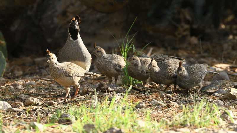 There's always one kid who won't get in line. Gambel's Quail photographed by participant Daphne Tsui.