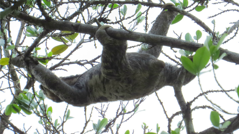 Like this Pale-throated Three-toed Sloth, let's climb from our Mouth of the Amazon tour to another Brazil itinerary -- Rio Negro Paradise: Manaus. (Photo by participant Thomas Collins)