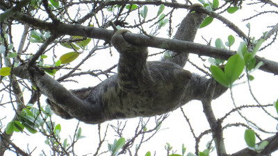 "Like this Pale-throated Three-toed Sloth, let's climb from our Mouth of the Amazon tour to another Brazil itinerary -- ""Rio Negro Paradise: Manaus."" (Photo by participant Thomas Collins)"