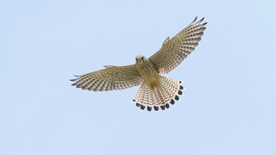 Excellent looks at Eurasian Kestrel are a daily occurrence on the France tour. (Photo by guide Tom Johnson)