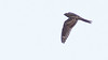 Check out the distal position of the primary bar and the buffy tones to this Lesser Nighthawk. (Photo by guide Doug Gochfeld)