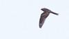 Lesser Nighthawk azs16b Doug Gochfeld (1 of 1)