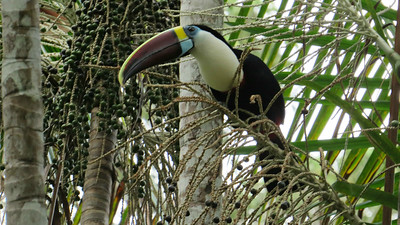 Here's a big White-throated Toucan among the palm fruits from participant Thomas Collins.