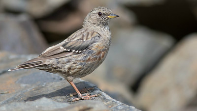 We couldn't have asked for a better look at Alpine Accentor. (Photo by guide Tom Johnson)