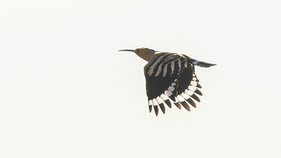 Eurasian Hoopoes are even more eye-catching in flight. (Photo by guide Tom Johnson)