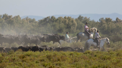 "A trio of the Camargue's famous denizens -- white horses, black fighting bulls, and ""gardians"" (French cowboys) -- in one shot!  (Photo by guide Tom Johnson)"