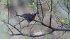 Varied Bunting 1 azs16a James Lee