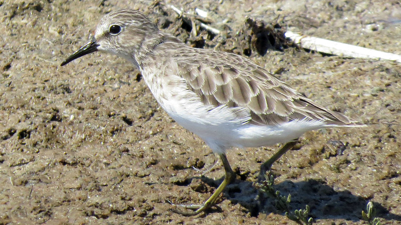 Least Sandpipers were practically underfoot. (Photo by participant Don Faulkner)