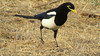 The California endemic Yellow-billed Magpie is always a tour target and highlight. (Photo by participant Don Faulkner)