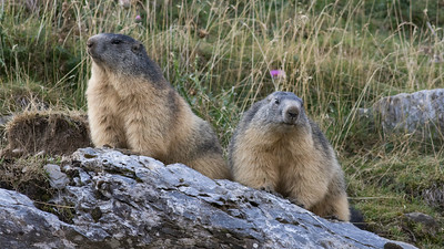 A pair of Alpine Marmots strike a regal pose. (Photo by guide Tom Johnson)