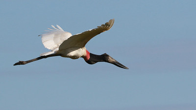This massive Jabiru was photographed by participant Larry Peavler.