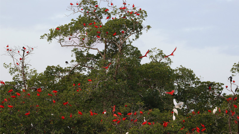 These trees are adorned with roosting Scarlet Ibis and other waders. (Photo by participant Larry Peavler)
