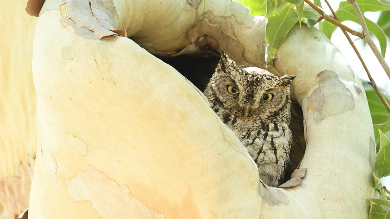 Knowing roost sites for Whiskered Screech-Owls is one of the perks of having Field Guides guides in residence in Portal. (Photo by participant Daphne Tsui)