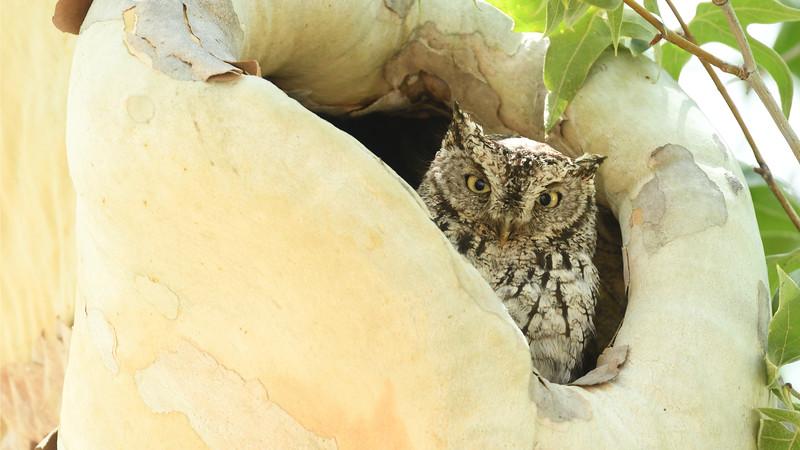 Whiskered Screech Owl azs16a Daphne Tsui