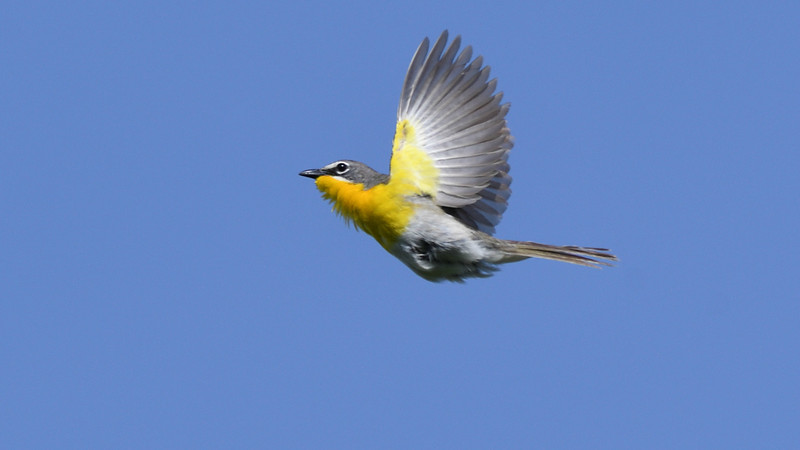 Participant James Lee nailed this Yellow-breasted Chat in flight.