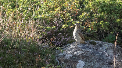 Sighting the peculiar Eurasian Wryneck is an uncommon treat. (Photo by guide Tom Johnson)