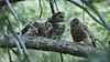 Spotted Owl feeding azs16a Daphne Tsui