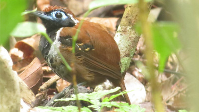 A skulky Ferruginous-backed Antbird couldn't hide from us. (Photo by participant Sherry Collins)