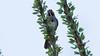 Five-striped Sparrow showing its stripes azs16b Doug Gochfeld (1 of 1)