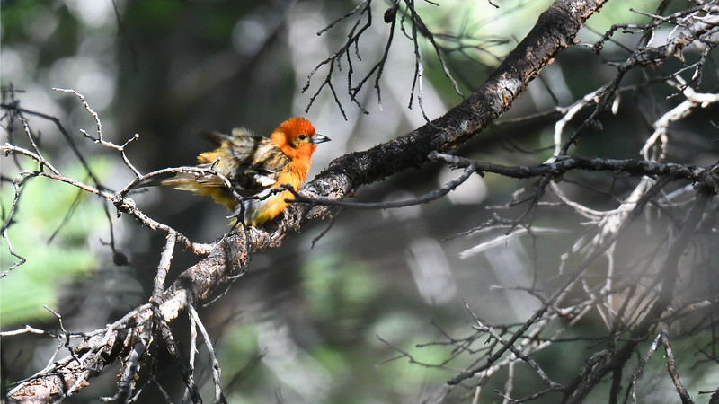 We all cheered when we caught up to this vagrant Flame-colored Tanager! (Photo by participant James Lee)
