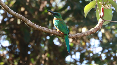 Check out that bill on the Great Jacamar! (Photo by participant Larry Peavler)