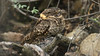 We savored a  fantastic look at the rare Buff-collared Nightjar!  (Photo by participant Daphne Tsui)