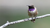 Black-Chinned Hummingbird azs16a James Lee