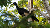 We scored a great look at Bare-faced Curassow. (Photo by participant Larry Peavler)