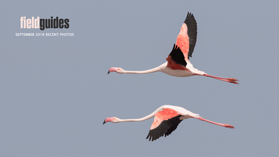 "We begin our September Recent Photos Gallery with Greater Flamingos from our ""France: Camargue & Pyrenees"" tour. We enjoyed two departures for this perennially popular itinerary. (Photo by guide Tom Johnson)"
