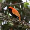 Crested Satinbird fairly glows in the moist forest habitat it prefers. Photo by participant Claudi Racionero.