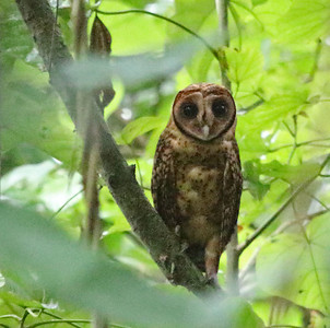 Jay and Doug a few folks scouted New Britain for next year's tour, and this endemic Golden Masked-Owl was a highlight. Photo by participant Myles McNally.