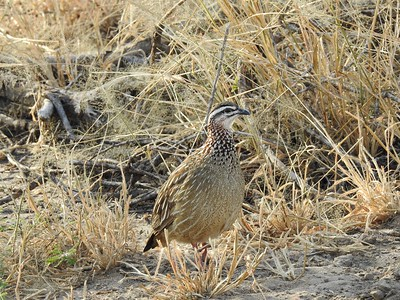 Crested Francolin is a particularly handsome species, with that fine pattern on its neck. Photo by participant Jean Rigden.