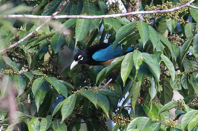 A male Blue Bird-of-Paradise peeks out of the foliage, showing those distinctive eye-crescents. Photo by participant Claudi Racionero.