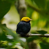 A Golden-headed Manakin in the forest understory. Photo by participants David & Judy Smith.