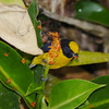 Orange-bellied Euphonia, seen from the ACTS canopy walkway. Photo by participants David & Judy Smith.