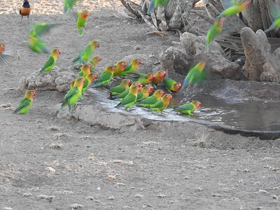 Fischer's Lovebirds bring a huge flash of color to a drinking pool. Photo by participant Jean Rigden.