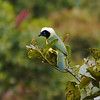 Participants David & Judy Smith photographed this frosty-headed Green Jay (sometimes called Inca Jay).