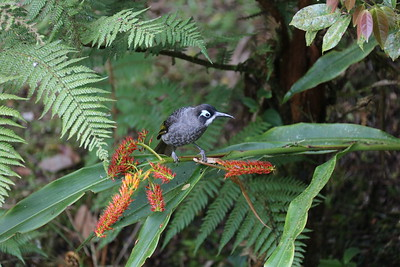 Belford's Melidectes, one of New Guinea's large, endemic honeyeaters, at Kumul Lodge. Photo by participant Betsy Fulmer.
