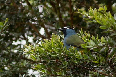 Crested Berrypecker at Kumul Lodge. With Tit Berrypecker, it comprises a tiny family of birds endemic to New Guinea. Photo by guide Doug Gochfeld.