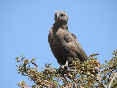 Next stop is one of our East Africa Highlights tours to Kenya & Tanzania with Terry Stevenson. Here's a Brown Snake-Eagle by participant Jean Rigden.