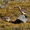 Andean Flickers at Abra Malaga. Photo by guide Jesse Fagan.