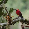 It's one of the most colorful of its kin: Crimson-mantled Woodpecker at Owlet Lodge on our Peru's Magnetic North tour. Photo by guide Jesse Fagan.