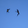 And two tiny male Wire-crested Thorntails in an aerobatic contest. Photo by guide Dan Lane.