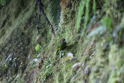 A Madarasz's Tiger-Parrot forages on a mossy bank. Photo by participant Betsy Fulmer.