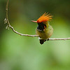 This tour in northern Peru has a variety of fab hummers. Here's Rufous-crested Coquette at Waqanki by guide Jesse Fagan.