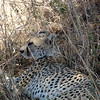 A Cheetah at rest in the shade, by participant Mary Krentz.