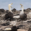 Magnificent Waved Albatrosses doing their best mirror-image work. Photo by participant David Stickney.