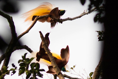 Two male Greater Birds-of-Paradise try their best to impress a female visiting the lek in this digiscoped shot by guide Doug Gochfeld.