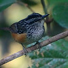 A Peruvian Warbling-Antbird peeked out of the understory. Photo by guide Dan Lane.